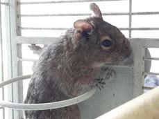 THREE FEMALE DEGUS