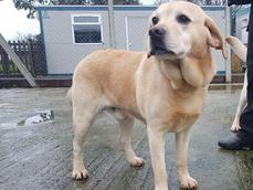 GOLDEN LABRADOR MALE