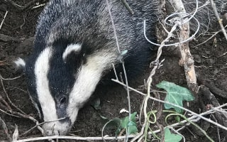 How we found the badger