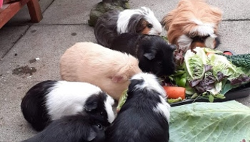 Guinea pigs in our care © RSPCA