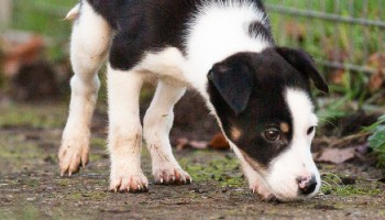 Border Collie puppy in RSPCA care