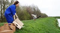 Wildlife assistant releasing duck by river. © Andrew Forsyth/RSPCA Photolibrary
