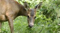 Female roe deer grazing. ©Andrew Forsyth/RSPCA Photolibrary