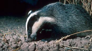 Single adult badger emerging from sett at night. © RSPCA Photolibrary