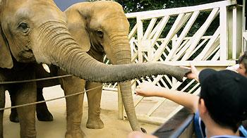 People feeding two captive adults at Colchester Zoo. © Andrew Forsyth/RSPCA Photolibrary