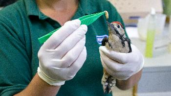Juvenile lesser spotted woodpecker being fed grubs at West Hatch Wildlife Centre. © Joe Murphy/RSPCA