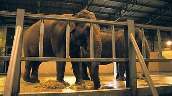 Two Indian elephants feeding in indoor housing at a zoo © Andrew Forsyth / RSPCA Photolibrary