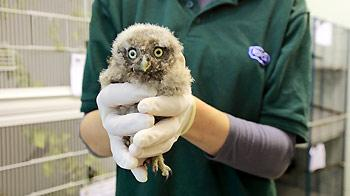 RSPCA wildlife assistant holding a juvenile Little Owl © Joe Murphy / RSPCA Photolibrary