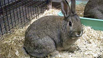 Grey rabbit © RSPCA