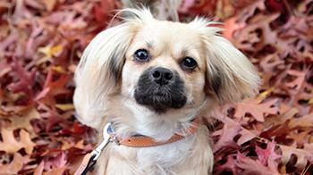 Tibetan Spaniel cross looking up © RSPCA