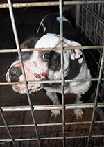 Dog inside cage with facial injuries © RSPCA