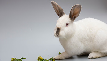 rspca rabbit