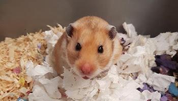 rspca hamster