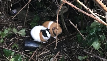 Guinea pigs Bramble and Blackberry were abandoned © RSPCA