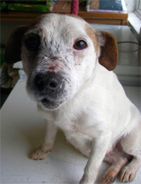 Jack Russell Kate was used in relation to badger crime © RSPCA
