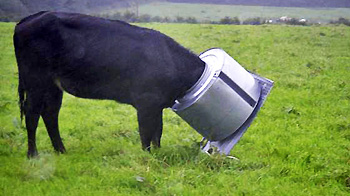 Cow with head stuck in washing machine drum © David Hobbs / RSPCA Photolibrary