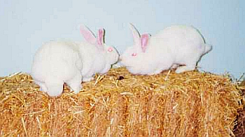 Pair of rabbits on straw bale © RSPCA