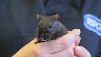 Gerbil in RSPCA staff hands © RSPCA