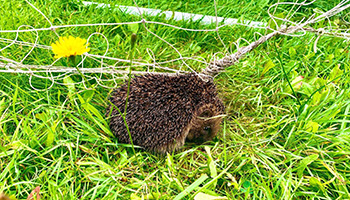 hedgehog caught in football netting
