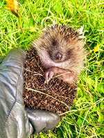 hedgehog resuced from netting