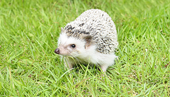 Food Featuring the African Pygmy Hedgehog !!: Everything You Need to Know Habitat and More Hedgehog Facts How to Keep an Amazing Hedgehog Pet Cages Including