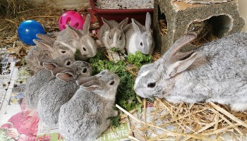 Mum rabbit with her seven babies