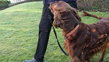 Irish red setter on a lead