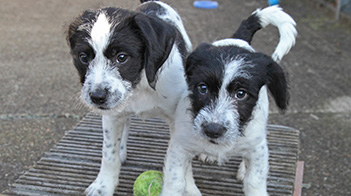 Two puppies playing at an animal centre © RSPCA