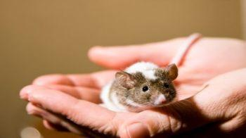 Pet mouse in hand