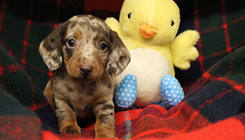 Puppy with toy and blanket
