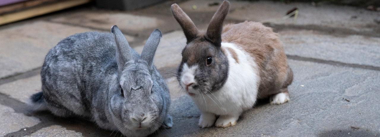 Rabbit Advice Tips And Health Information Rspca