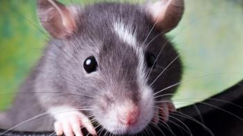 A grey rat © RSPCA