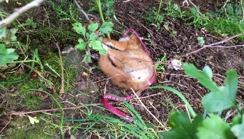 Appealing for information about a dead fox found