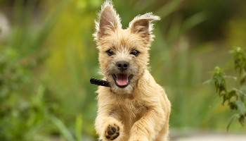 Cairn Terrier running in the woods