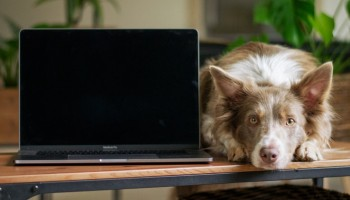 Dog lying next to a laptop