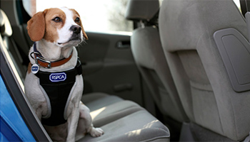 Dog sitting in the back of a car © RSPCA