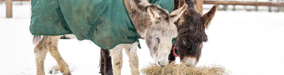 Adult donkeys feeding on hay in snow covered field