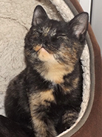 Little Miracle a rare male tortoiseshell cat © RSPCA