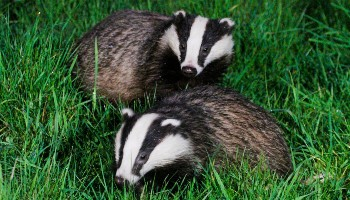 A pair of badgers