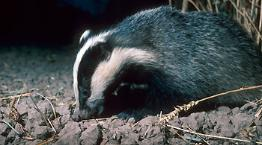 Single adult badger emerging from sett at night © RSPCA Photolibrary
