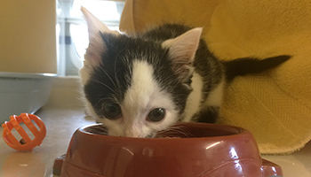 Skip the kitten eating from a food bowl