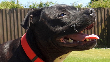 Dexter the Staffy fully recovered after skin condition © RSPCA