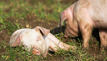 Piglet lying down in a field © RSPCA