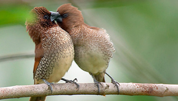 Birds kissing © RSPCA