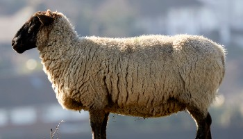Sheep standing outside