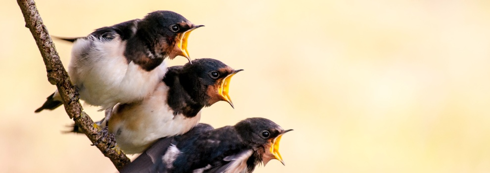Baby swallows on a branch © RSPCA