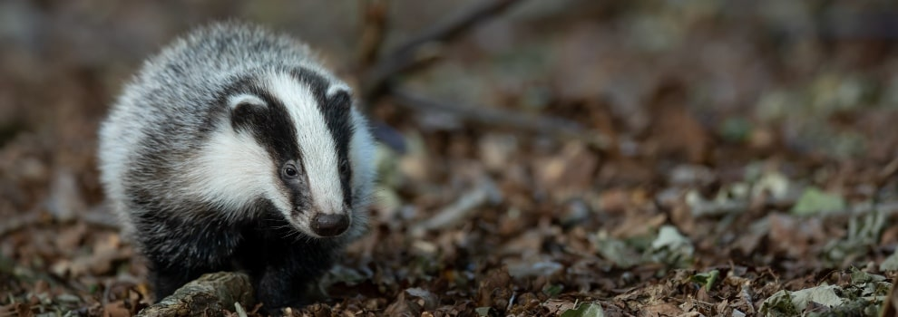 Badger in the wild © Vincent van Zalinge