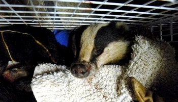 Badger persecution © RSPCA