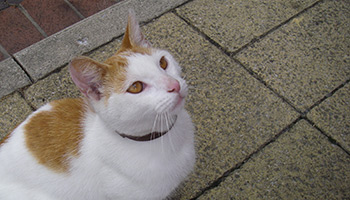 White and ginger cat who was thrown into the air © RSPCA