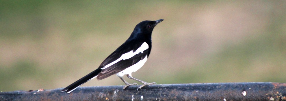 Magpie on a branch © RSPCA